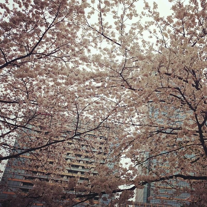「三河台中学校」の跡地の桜