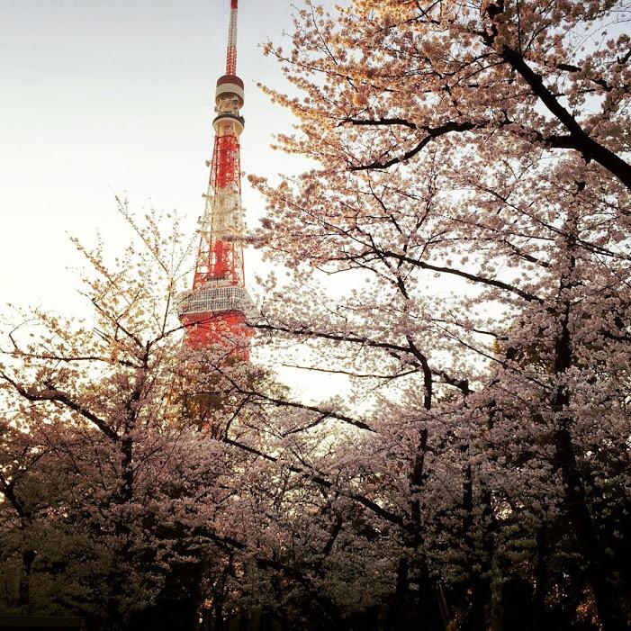 東京タワー下増上寺の桜
