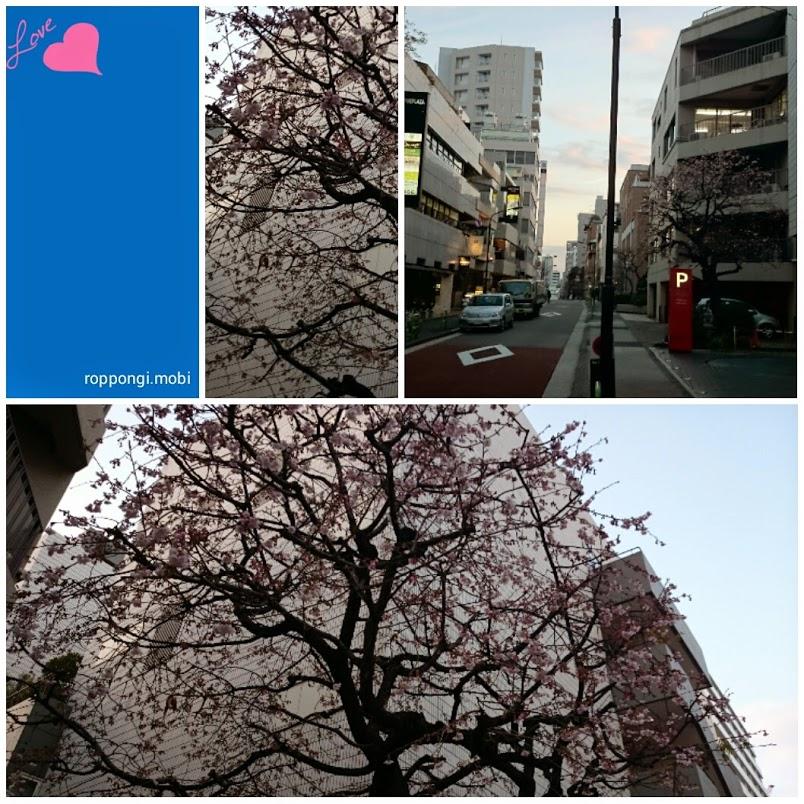 六本木に桜が咲き始めました